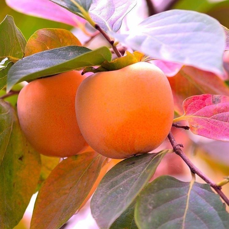 cacomela frutti