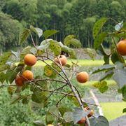 caco mela coltivazione