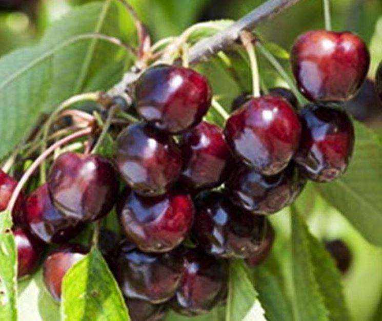 Speciale moda donna primavera estate alberi di ciliegie for Alberi frutta vendita
