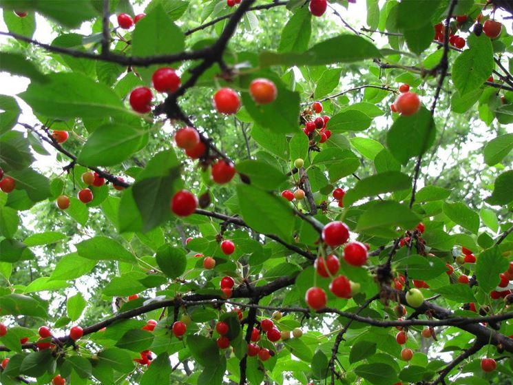 Pianta ciliegio selvatico