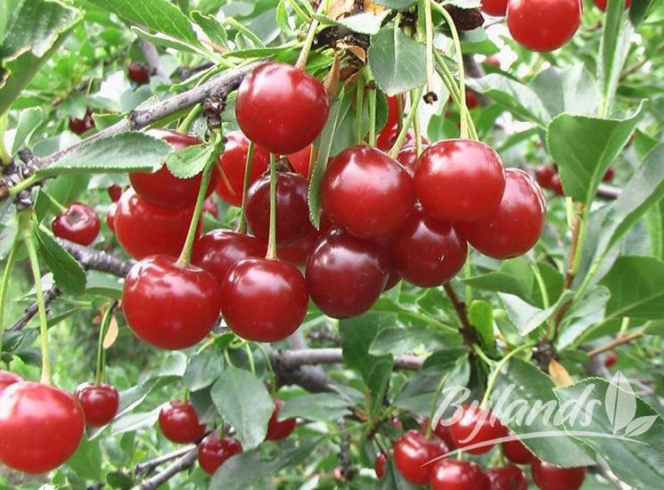 Pianta ciliegia selvatica
