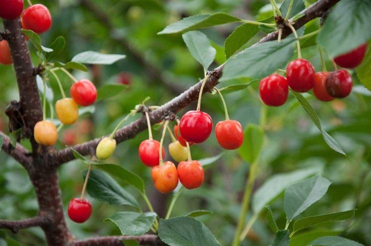 Ciliegio alberi da frutta coltivare ciliegio for Pianta di ciliegio