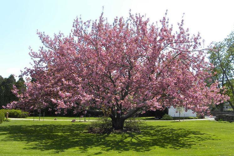 ciliegio alberi da frutta coltivare ciliegio