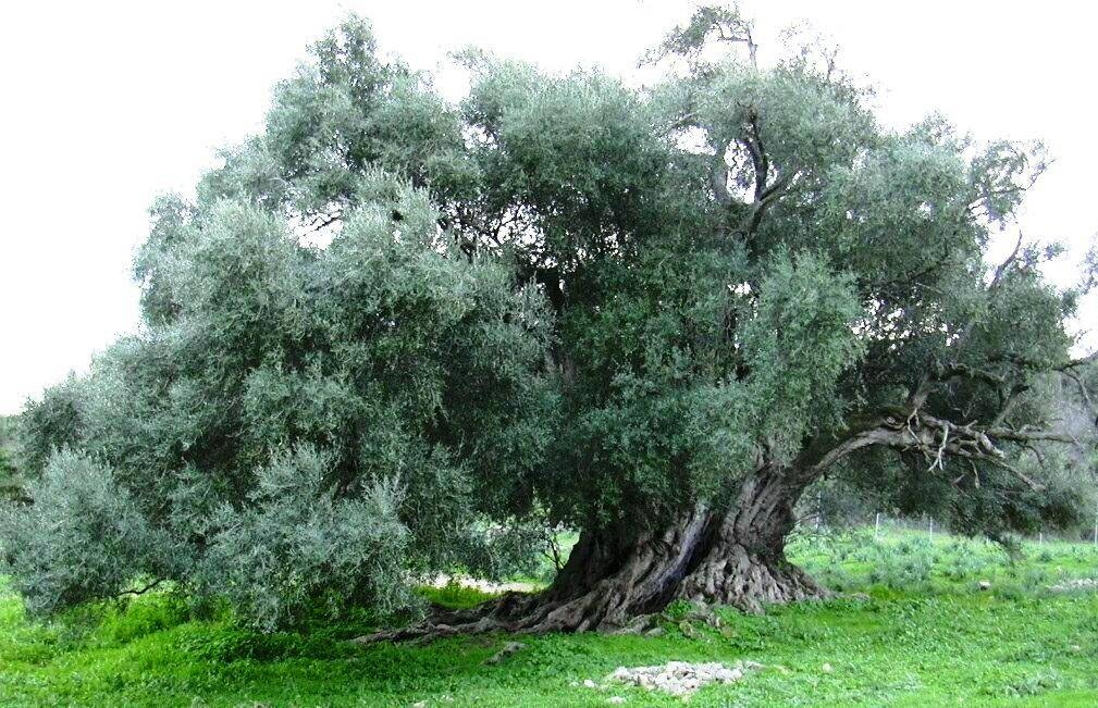 Come potare gli ulivi - Alberi da Frutta - Segreti e consigli per potare l