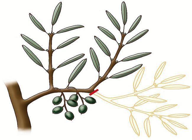Potare Piante Da Frutta : Come potare gli ulivi alberi da frutta segreti e