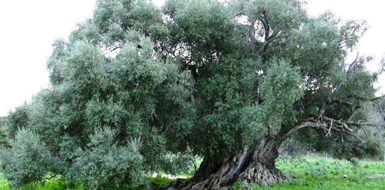 <h6>Come potare gli ulivi</h6>Se desideri ottenere frutti sani e gustosi � importante sapere anche come potarli! Segreti e consigli sulla potatura dell'ulivo