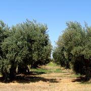 potare gli ulivi