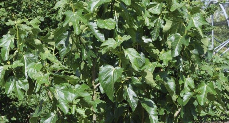 Giovane esemplare di albero di fico