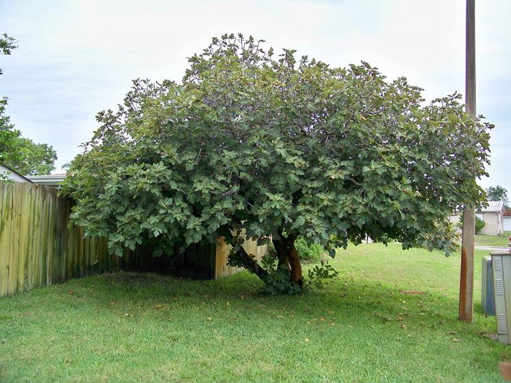 Un maestoso albero di fico