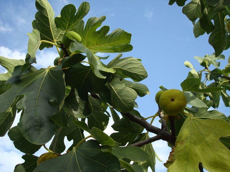 Frutto del fico alberi da frutta caratteristiche del for Pianta di fico prezzo
