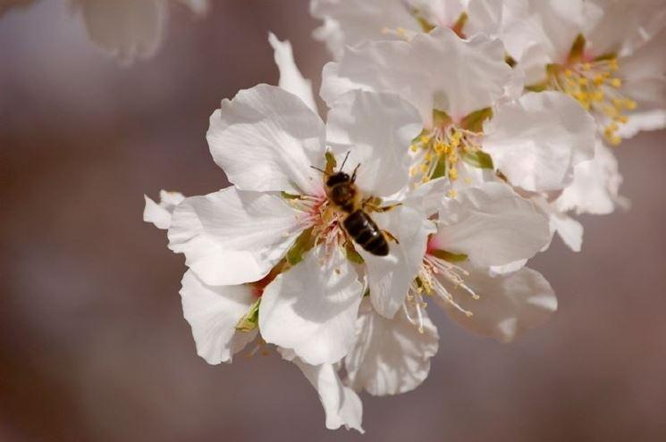 Il fiore del mandorlo