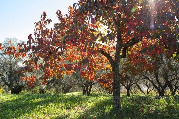 Kaki vaniglia: albero