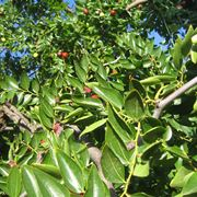 Foglie e frutti dell'albero di giuggiole.