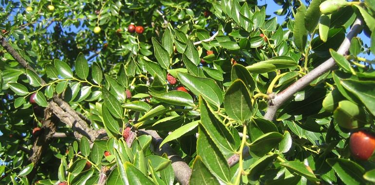<h6>Le giuggiole</h6>Le giuggiole: chi non ne ha mai sentito parlare? Ma cosa sono? Si tratta di un frutto molto dolce, scoprine di pi� con la nostra guida!