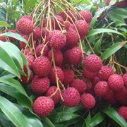 Frutti litchi