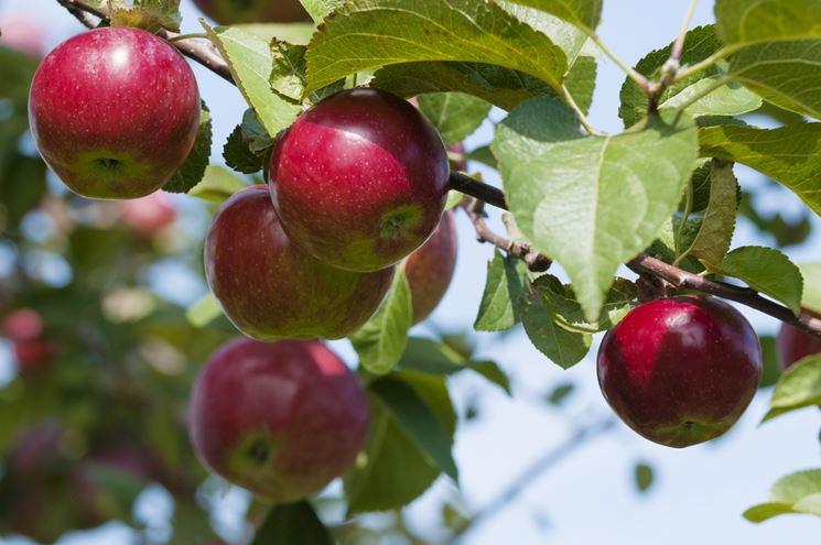 Fertilizzazione melo