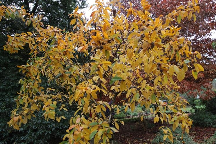 Nespolo autunno