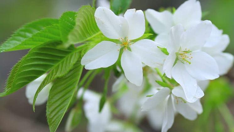 Nespolo fiorito