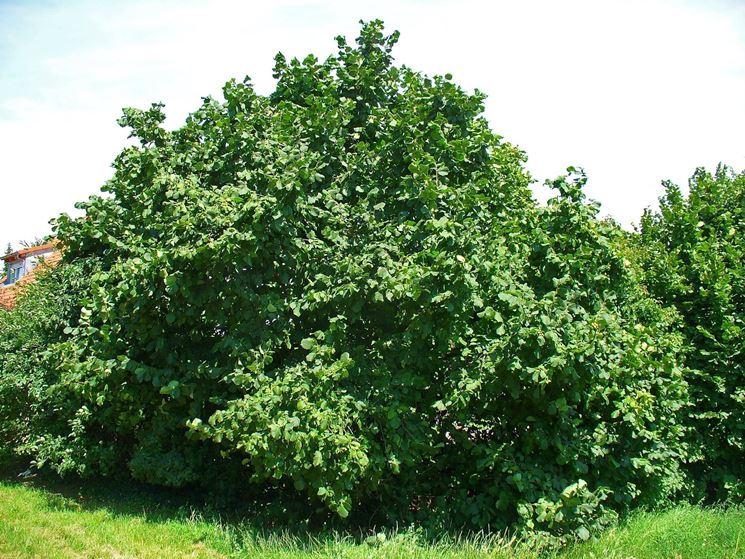 Nocciolo contorto alberi da frutta caratteristiche del for Pianta nocciolo prezzo