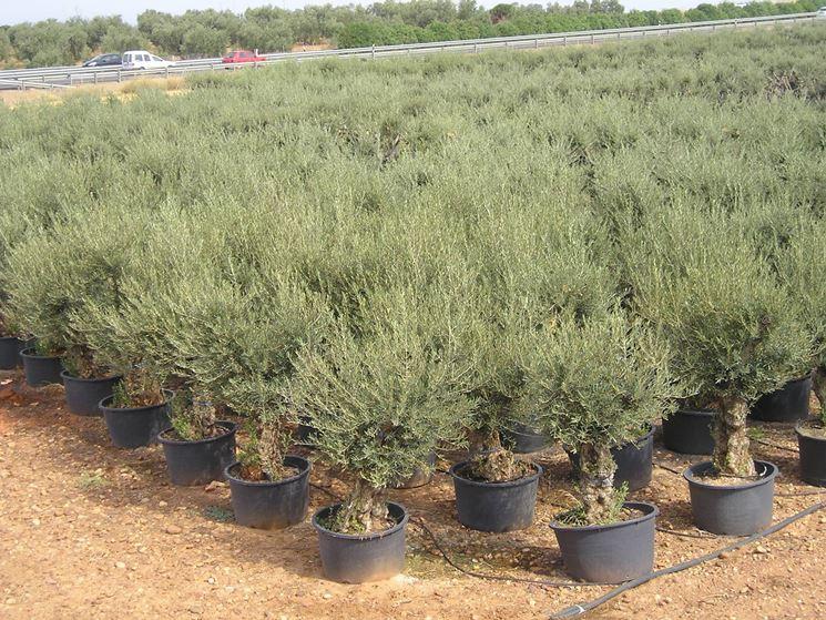 Assortimento di olivi in vaso in un vivaio.