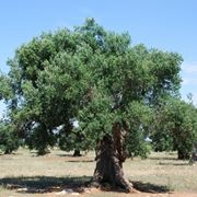 pianta ulivo in vaso
