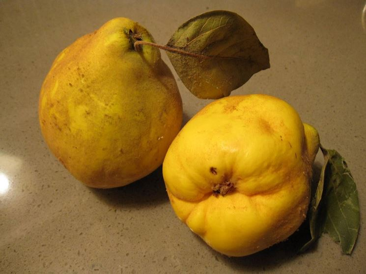 Frutti del pero cotogno