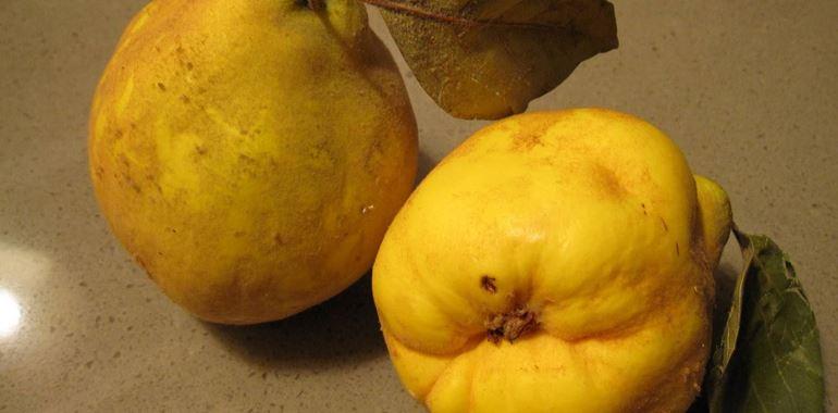 <h6>Pero cotogno</h6>Impara a coltivare il pero cotogno nel tuo giardino e potrai ottenere cos� i suoi preziosi frutti tutti da gustare!