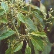 avocado pianta