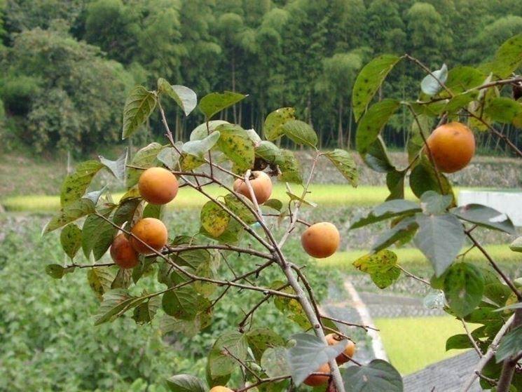 Fruttificazione pianta kaki