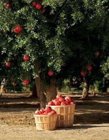 albero di melograno e cesta di frutta