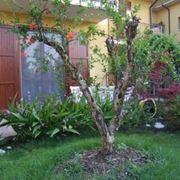 melograno albero