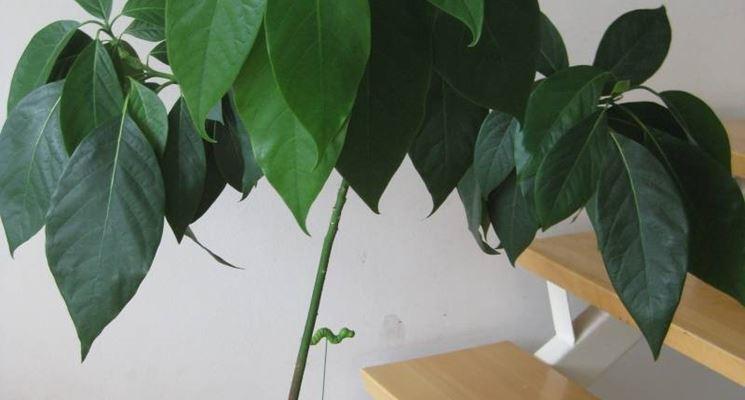 PIata di avocado in vaso