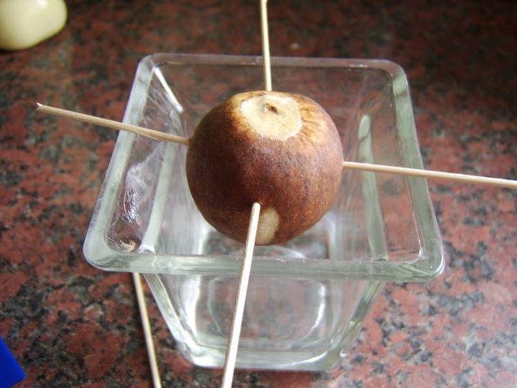 Preparazione del seme di avocado