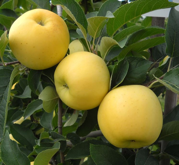 Un albero di mele Golden
