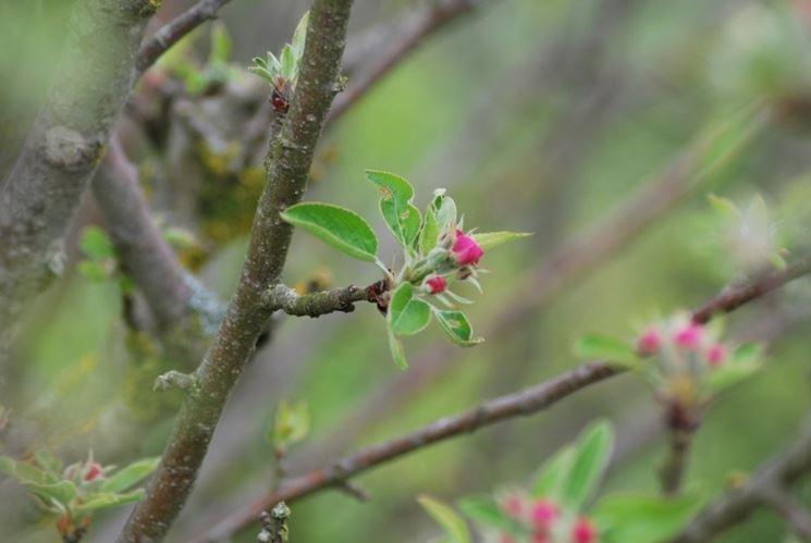 In primo piano una lamburda di melo: in inverno si presenta con una gemma grande apicale