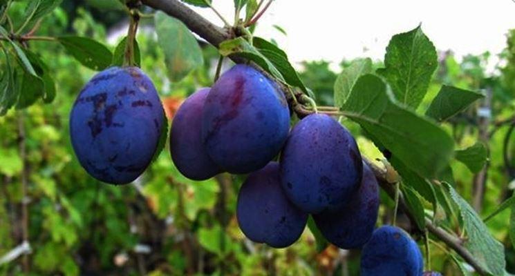 Frutti del susino europeo