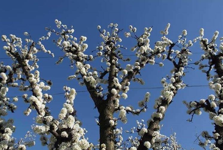 Esempio di susino cino-giapponese fiorito