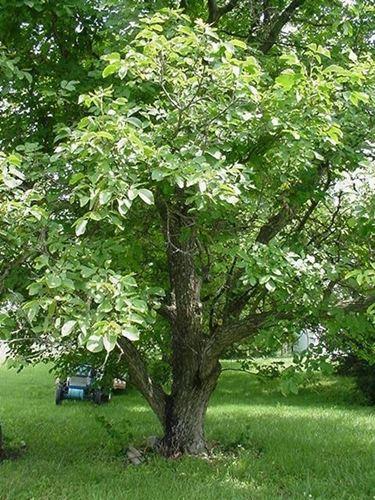 L'ombra dell'albero della noce.