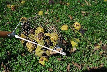 Uno strumento per la raccolta a terra delle noci.