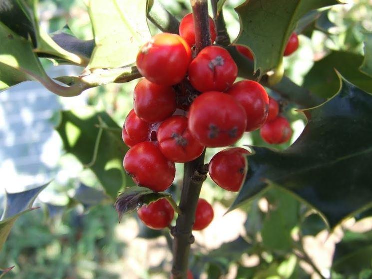 Frutti sorbo