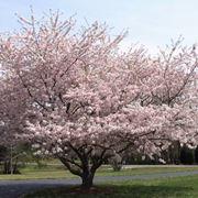 Albero di ciliegio in fiore