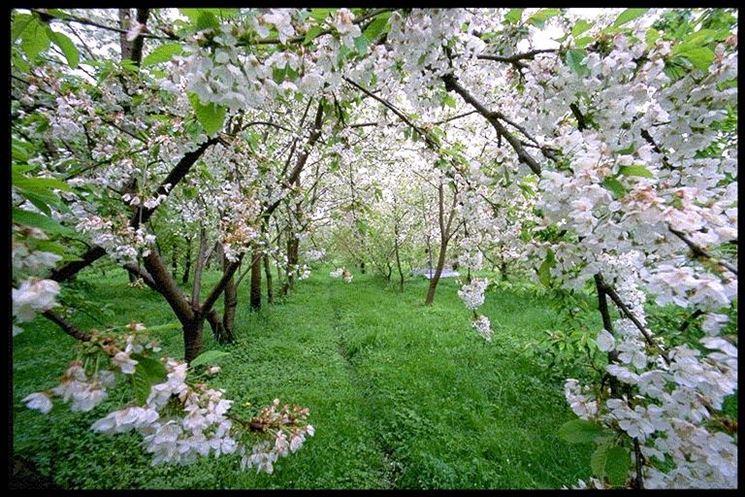 Coltivazione di ciliegi