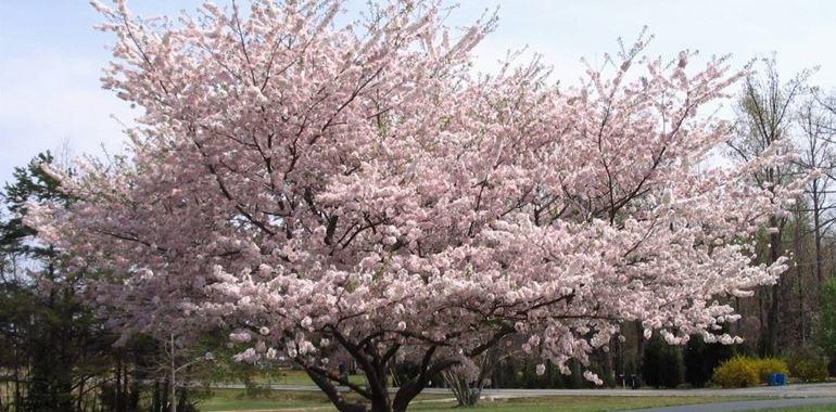 <h6>Tipi di ciliegie</h6>Le caratteristiche, le variet� e la cura dell'albero di ciliegio. I fiori delicati e i frutti gustosi lo rendono una pianta desiderabile