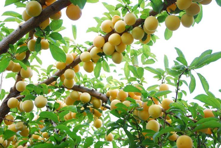 Un albero da frutto sano