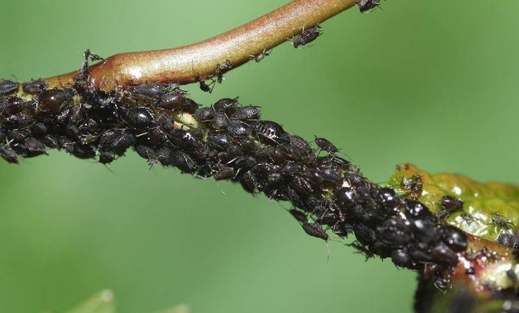 Afidi che attaccano una pianta
