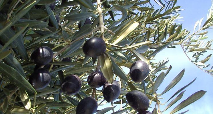 Una buona concimazione può aiutare la pianta a fruttificare