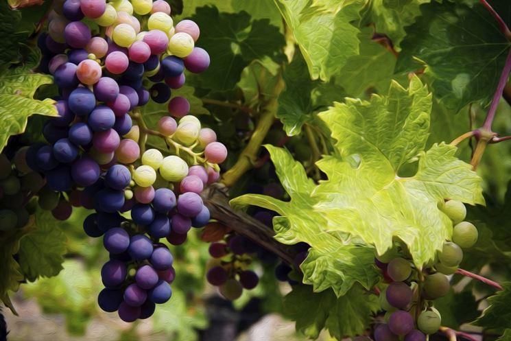 irrigare piante uva