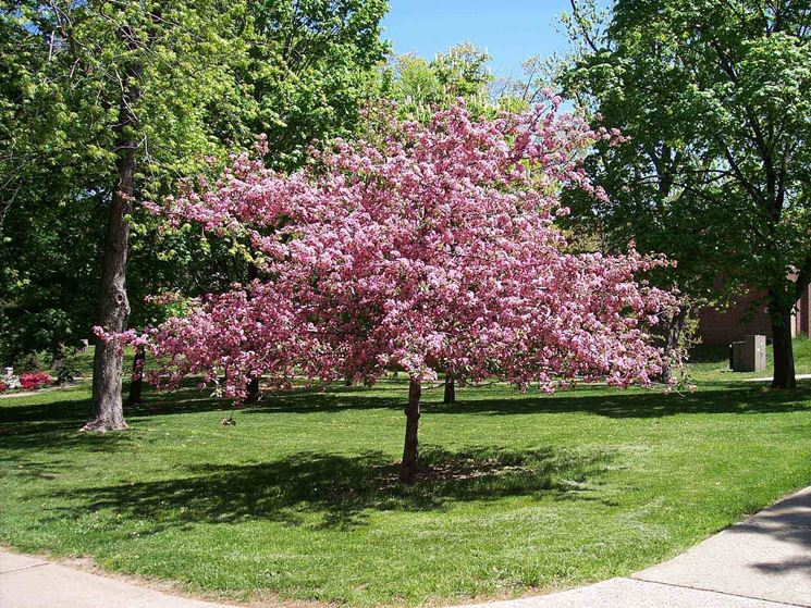 Albero di ciliegio in fioritura.