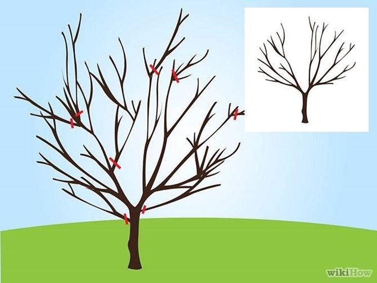 Pianta di ciliegio