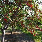 Variet� di pianta di ciliegio
